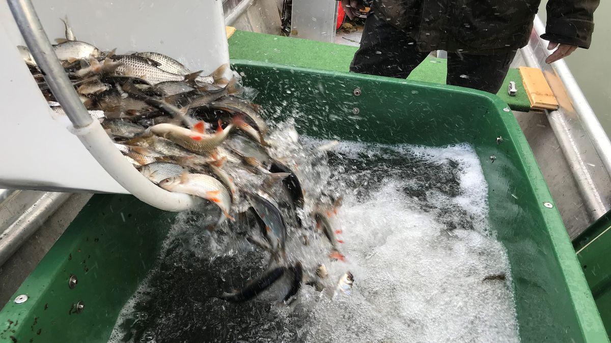 Diese in Tschechien gezüchteten Fische kommen in die Donau