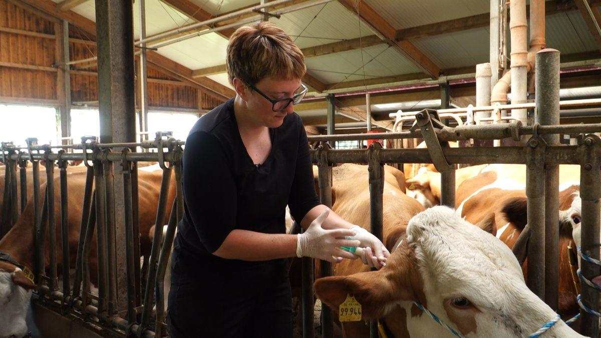Tierärztin Corinna Drexler behandelt eine Kuh im Stall