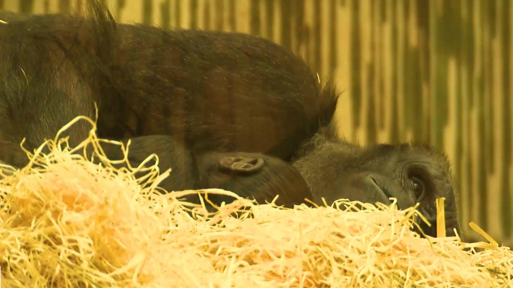 Gorillajunge Kato in liegt im Nürnberger Affengehege in den Armen seiner Mutter Habibu