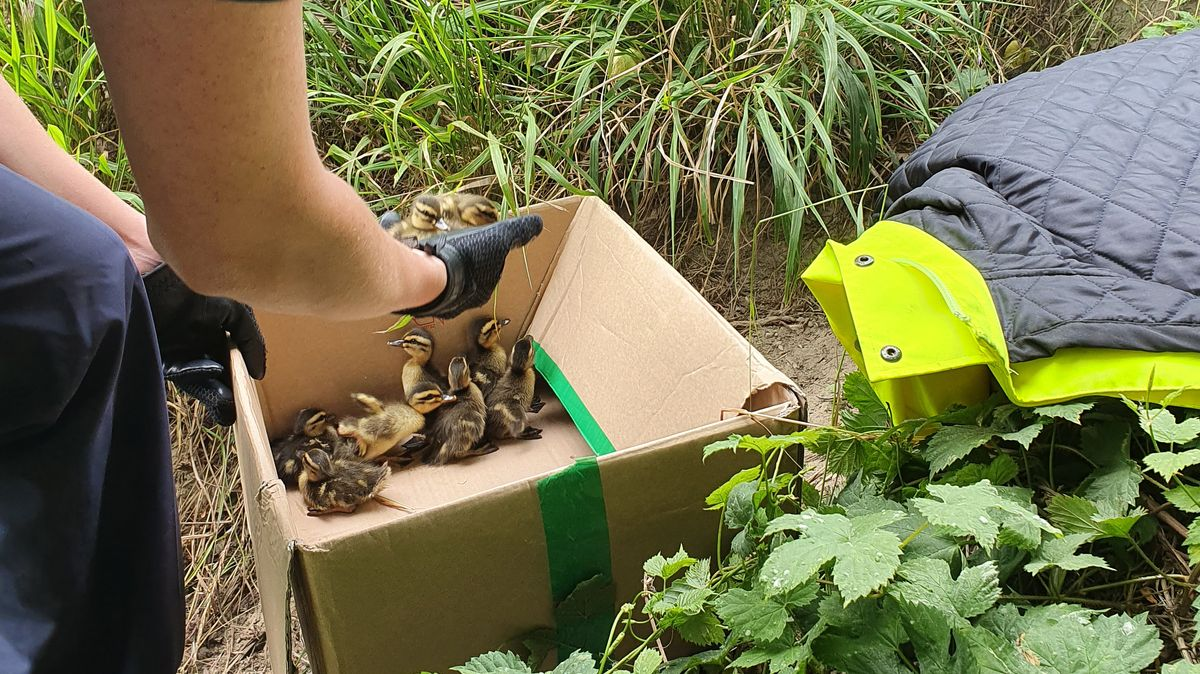 Ein Polizist hebt die Entenküken in den Karton
