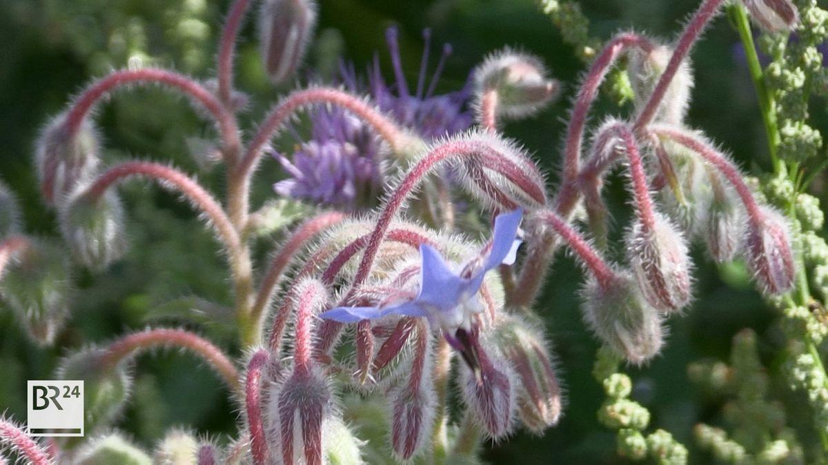 Violette Wildblüten in einer Wildblumenwiese