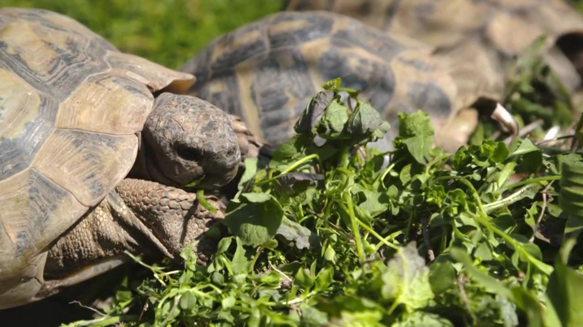 Schildkröten fressen Blätter.
