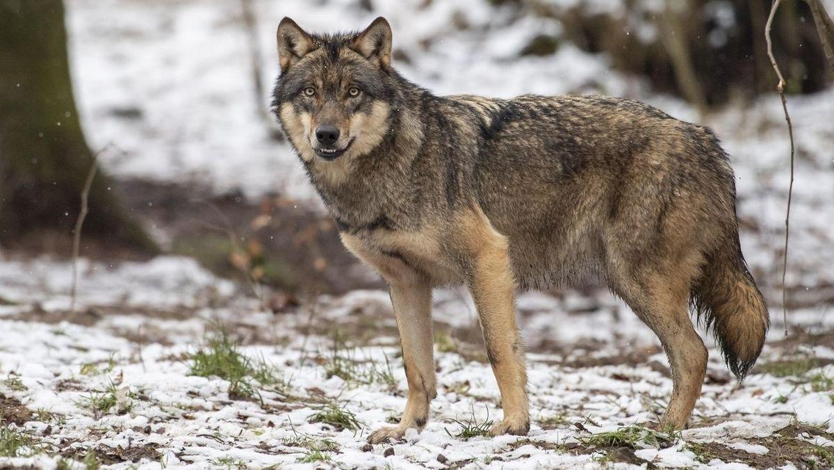 Ein Wolf (Symbolbild)