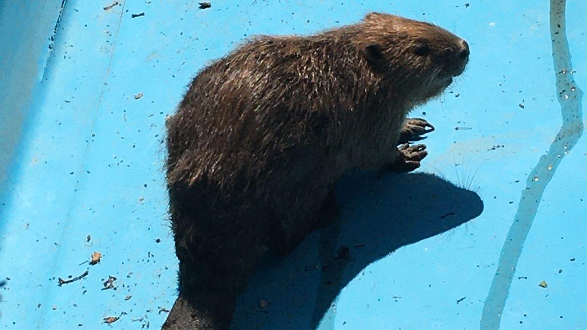 Das Tier war wahrscheinlich in einen leerstehenden Pool gefallen.