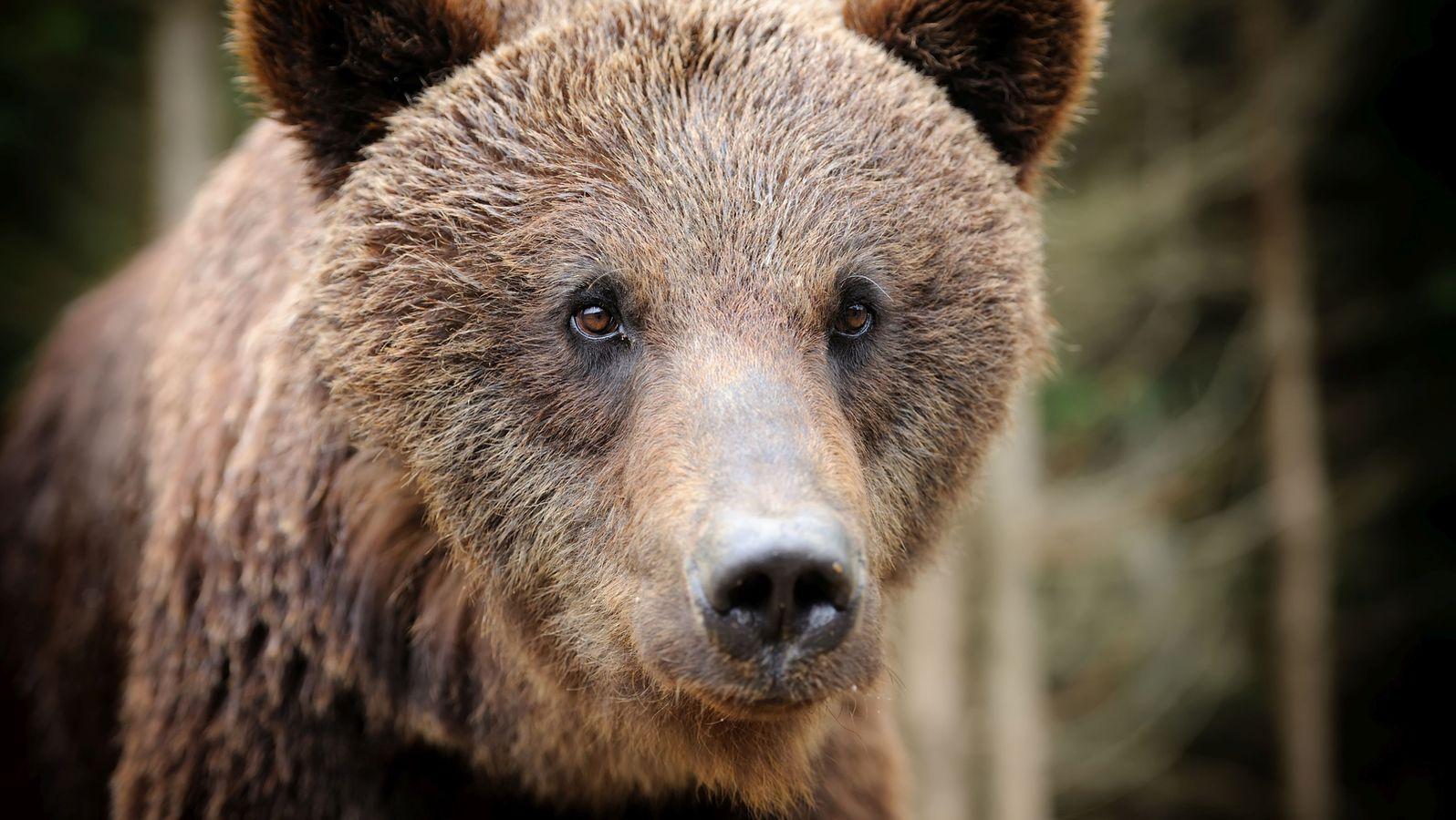 """Wieder Bär im Alpenvorland: Kommt jetzt ein neuer """"Bruno""""?"""