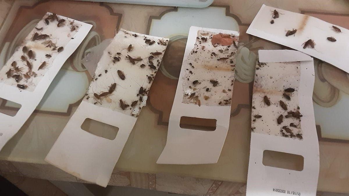 Klebefallen mit Kakerlaken.
