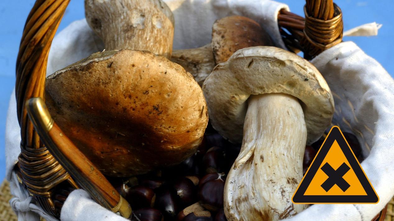 In Waldpilzen steckt eine Extraportion Schwermetalle. Gerade in Bayern sind die Pilze auch noch immer radioaktiv belastet.