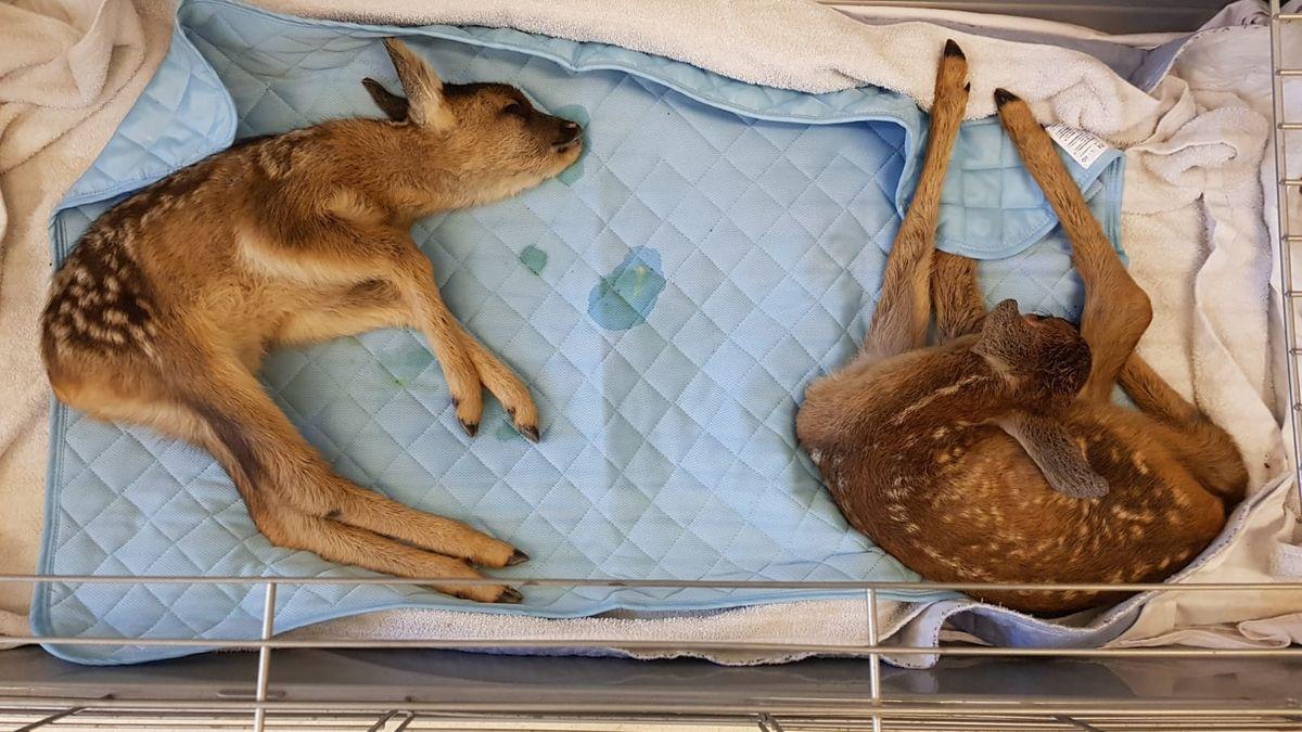 Die beiden verletzten Rehkitze wurden im Tierheim Hamlar versorgt.