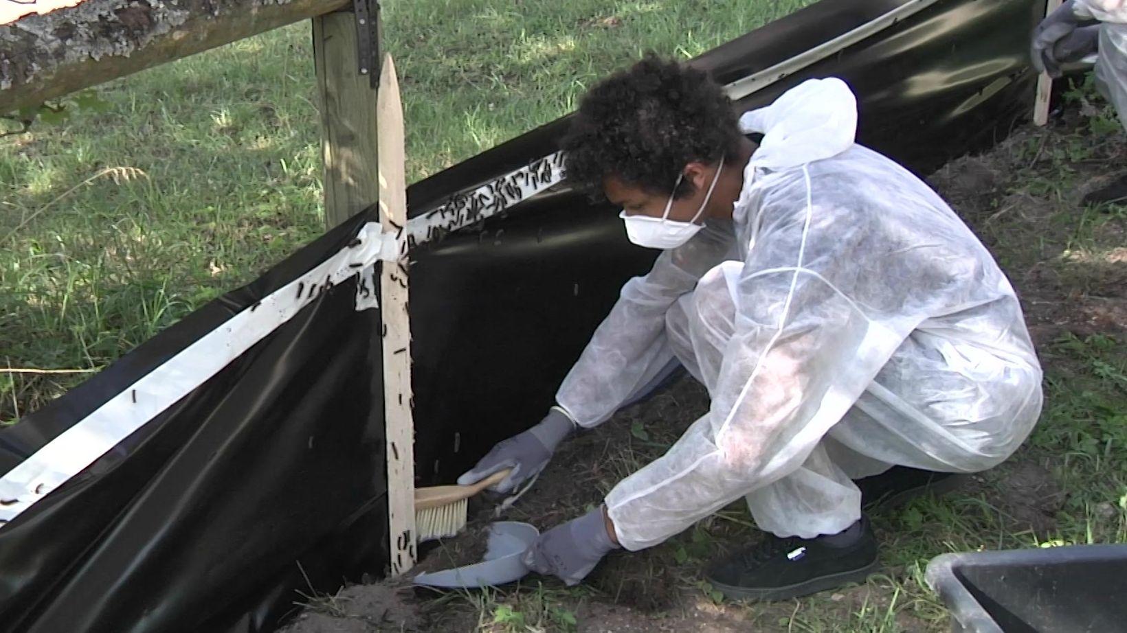 Ein Helfer beseitigt Schwammspinner-Raupen in Gunzenhausen