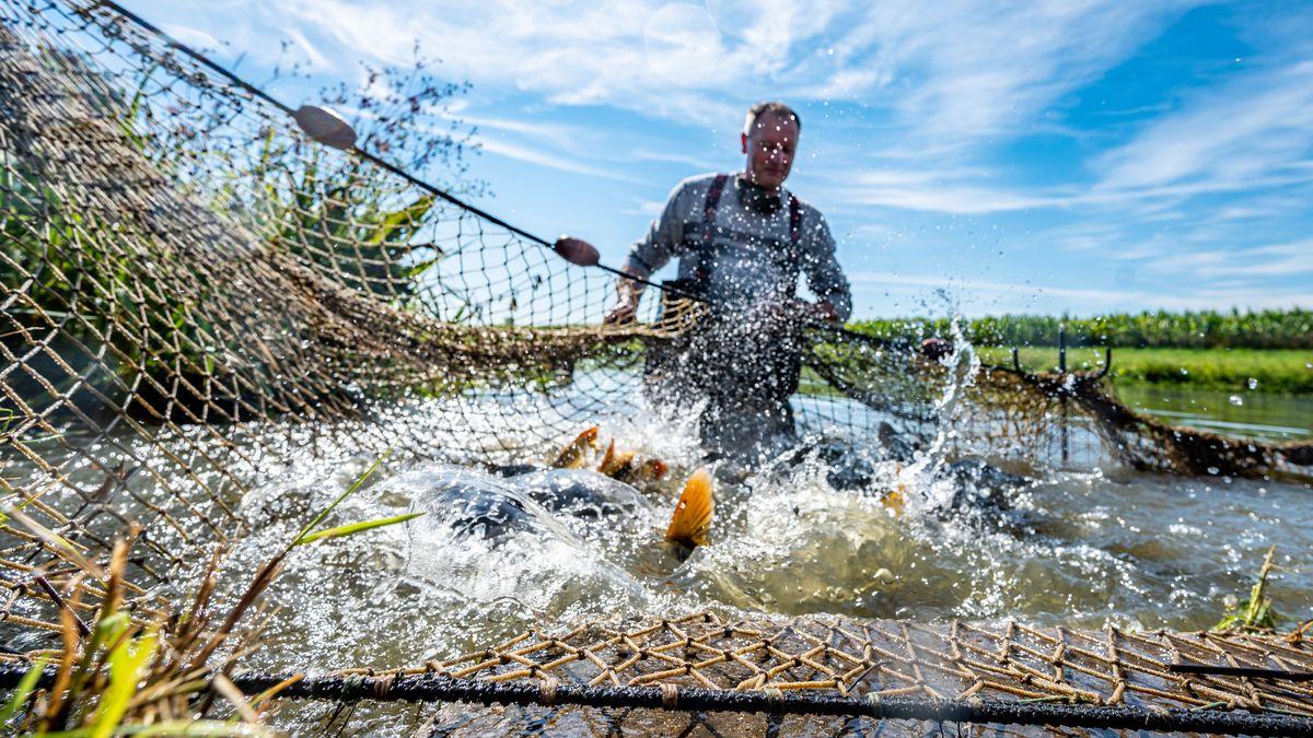Hubert Rösch, Fischer, hält in einem Teich ein Netz mit Karpfen. Im September beginnt in Bayern die Karpfensaison.