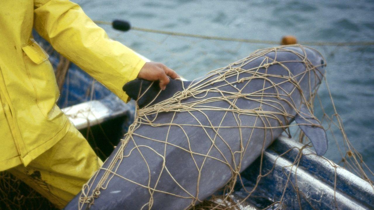 Vaquitas ersticken qualvoll in illegalen Fischernetzen.