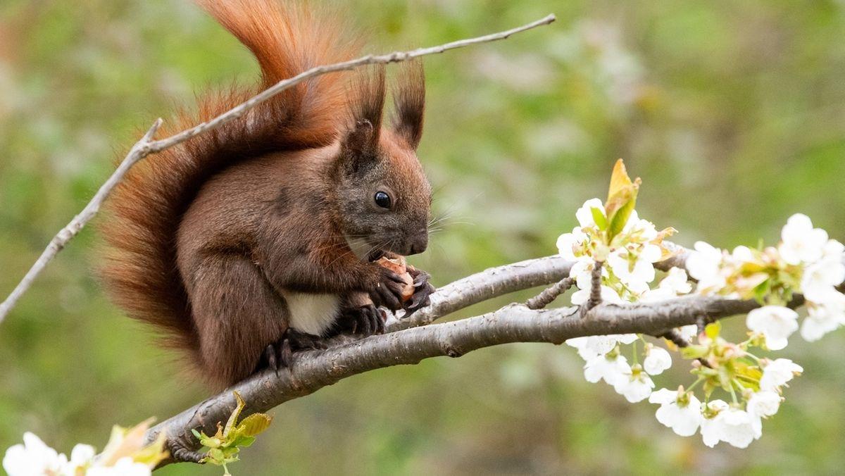 Eichhörnchen auf einem blühenden Zweig