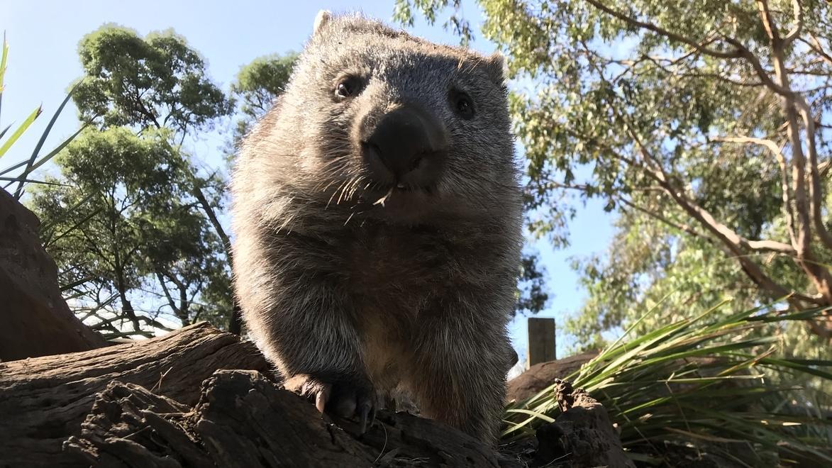 Ein Wombat schaut in die Kamera