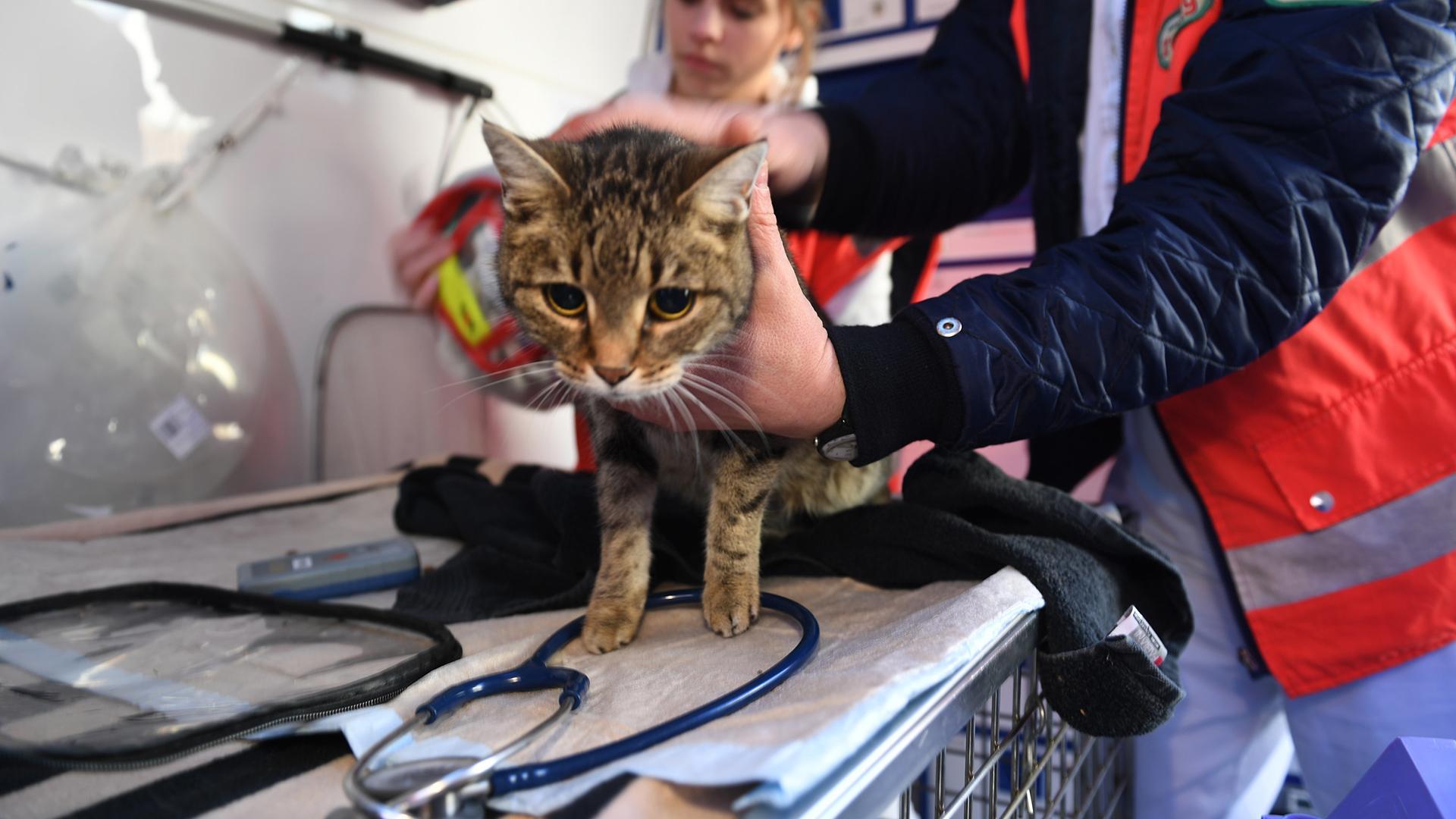 Eine Katze sitzt auf dem Behandlungstisch des Tierrettungswagen und wird untersucht.