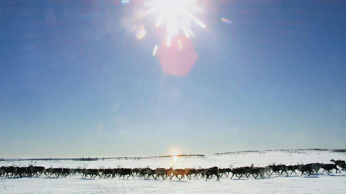Schmelzende Permafrostböden in Sibirien erschweren den Weidewechsel von Rentier-Herden.