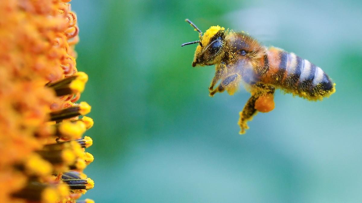 Biene im Anflug auf eine Blüte
