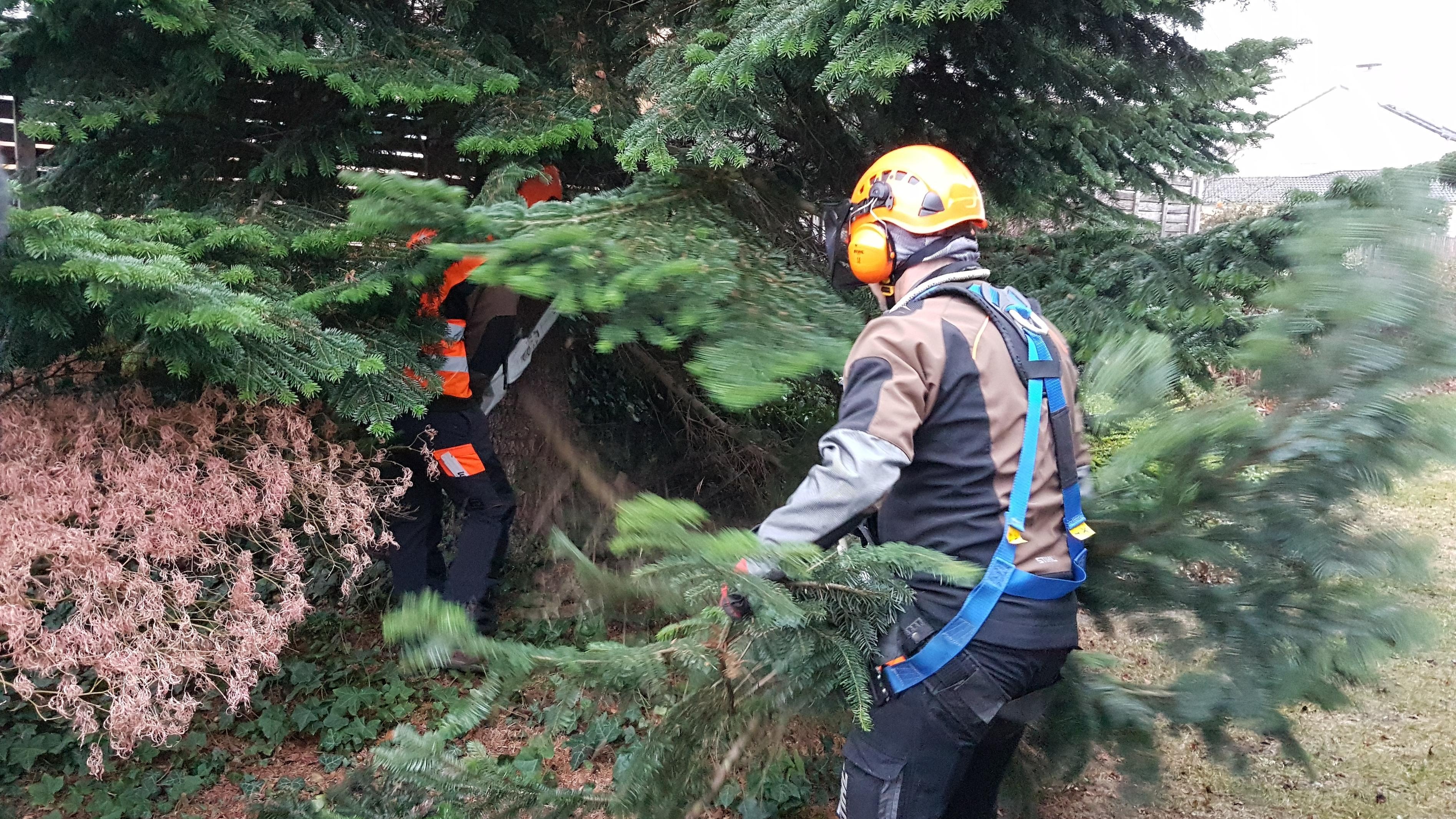 Mitarbeiter des Gartenamtes bereiten den Riesen-Christbaum zum Abtransport vor