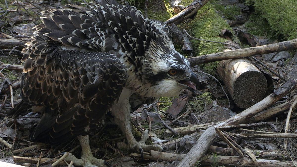 Die Fischadler haben maximal drei Junge im Jahr, ab August fliegen sie nach Afrika und bleiben dort ein bis zwei Jahre.