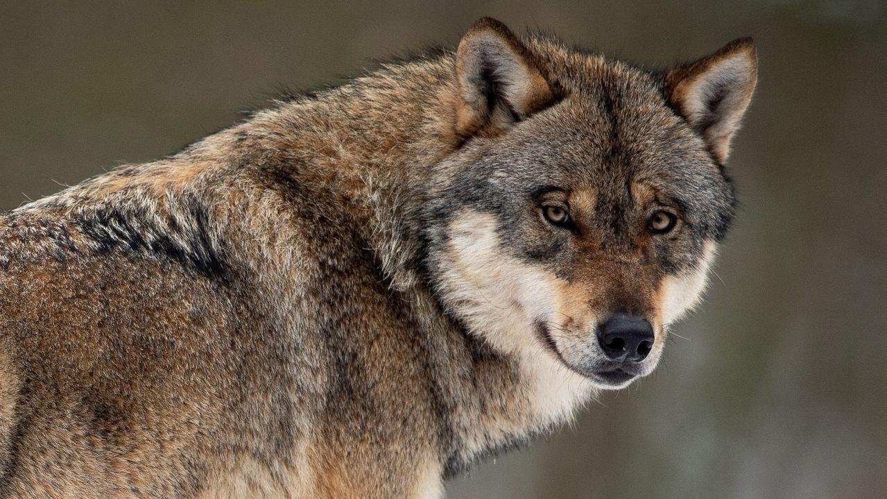 Überführt: Ein Wolf hat ein Lamm im nördlichen Landkreis im April gerissen.
