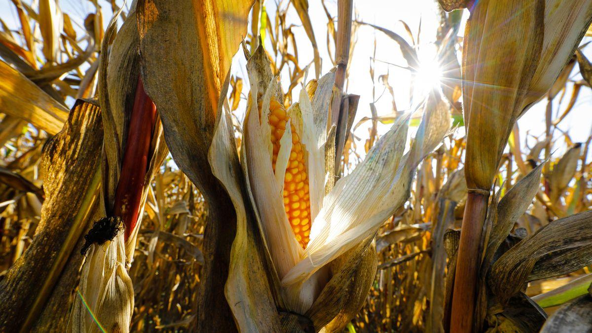 Die Landwirtschaft litt 2020 - dem zweitwärmsten Jahr überhaupt - vielerorts unter langanhaltender Trockenheit.