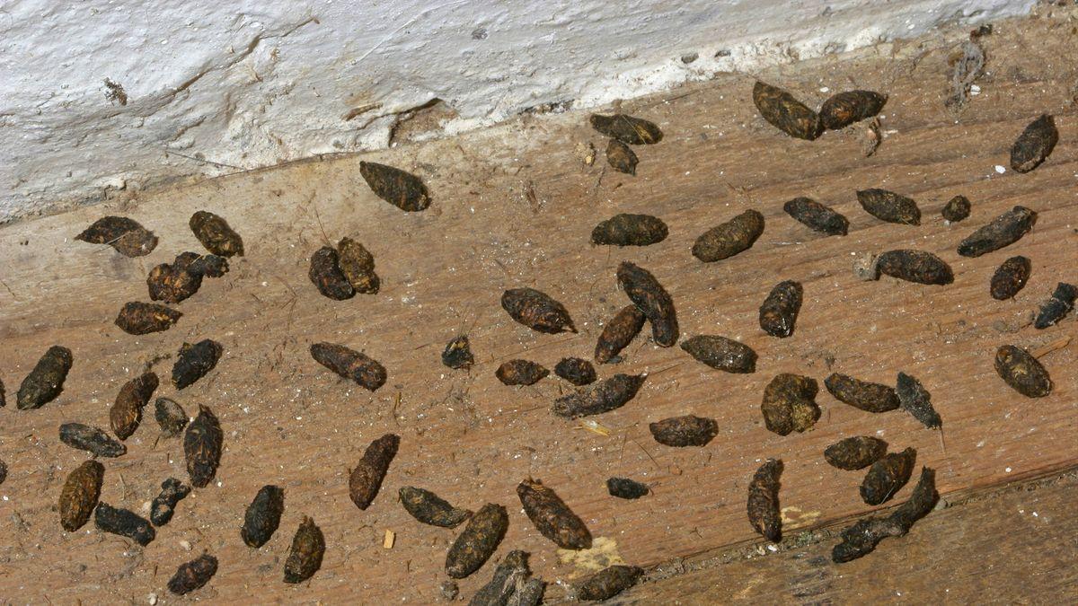 Rattenkot - Hinweis auf eine Rattenplage