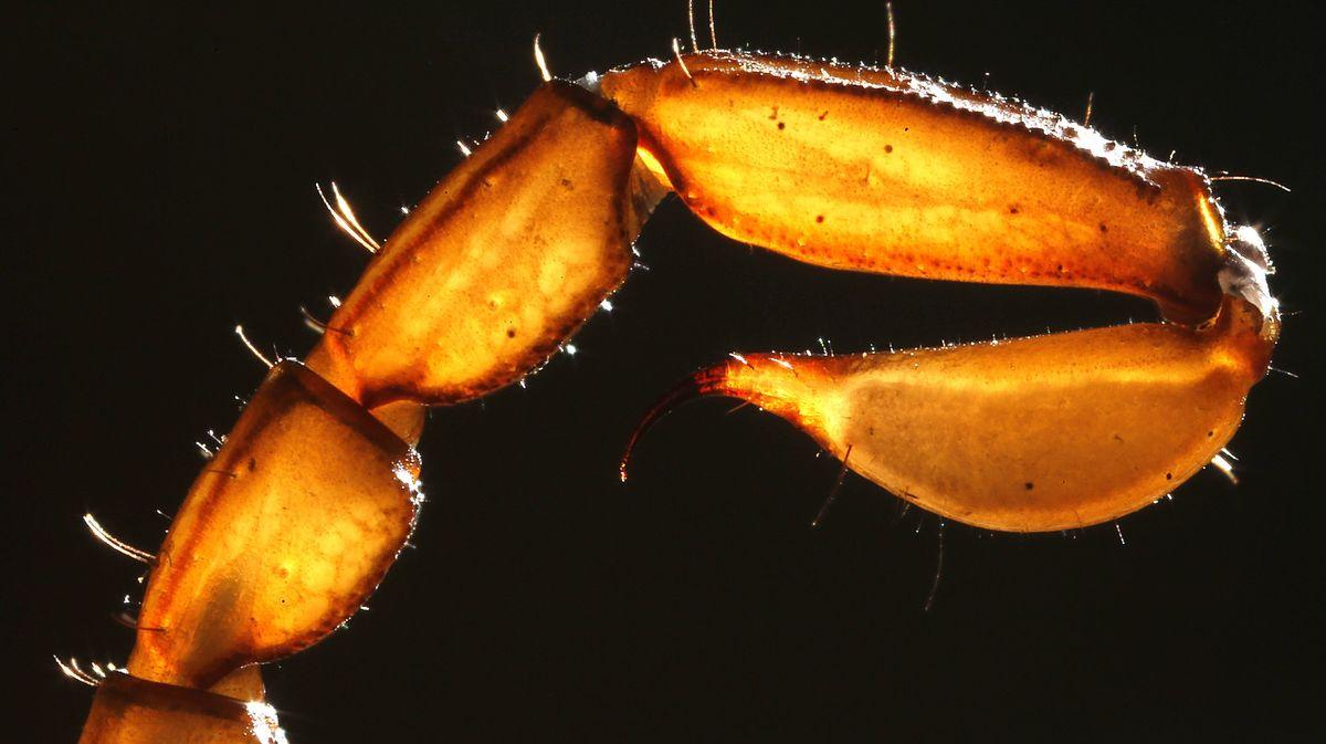 Schwanz mit Giftstachel eines Skorpions