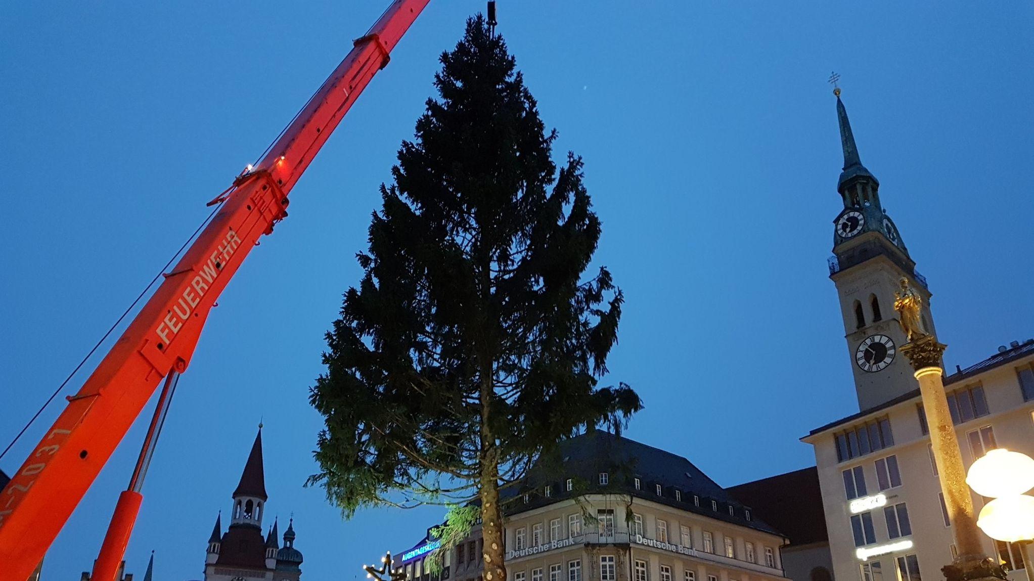Christbaum für dem Marienplatz hängt am Kran der Feuerwehr.