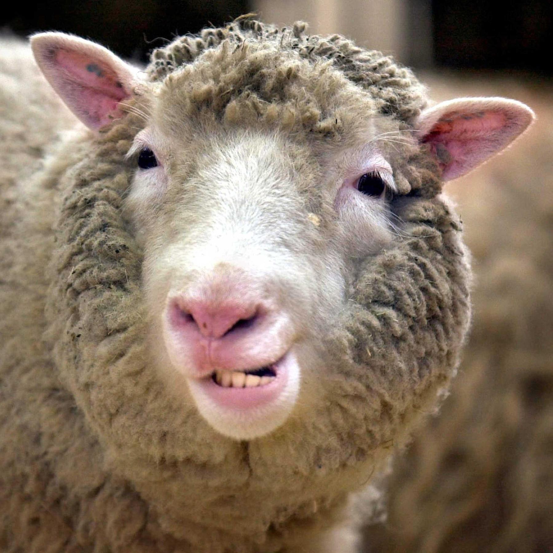 25 Jahre Klonschaf Dolly - Was aus Hoffnungen und Befürchtungen geworden ist