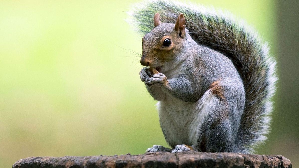 Grauhörnchen (Sciurus carolinensis) stammen aus Nordamerika und sind als invasive Art inzwischen in Großbritannien zu finden. Es wird befürchtet, dass die Grauhörnchen das Eurasische Eichhörnchen verdrängen könnten.