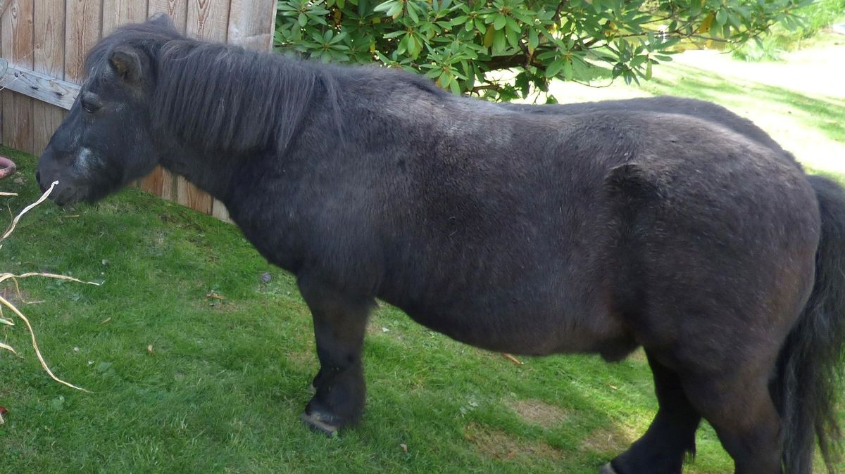Das vermisste und nun tot aufgefundene Shetland-Pony