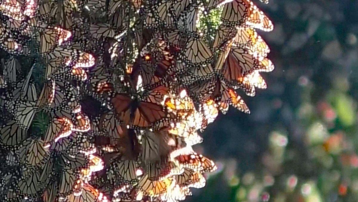 Der Monarchfalter ist der berühmteste wandernde Schmetterling der Welt.