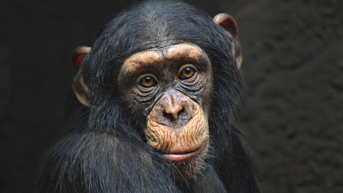 Affe blickt in die Kamera