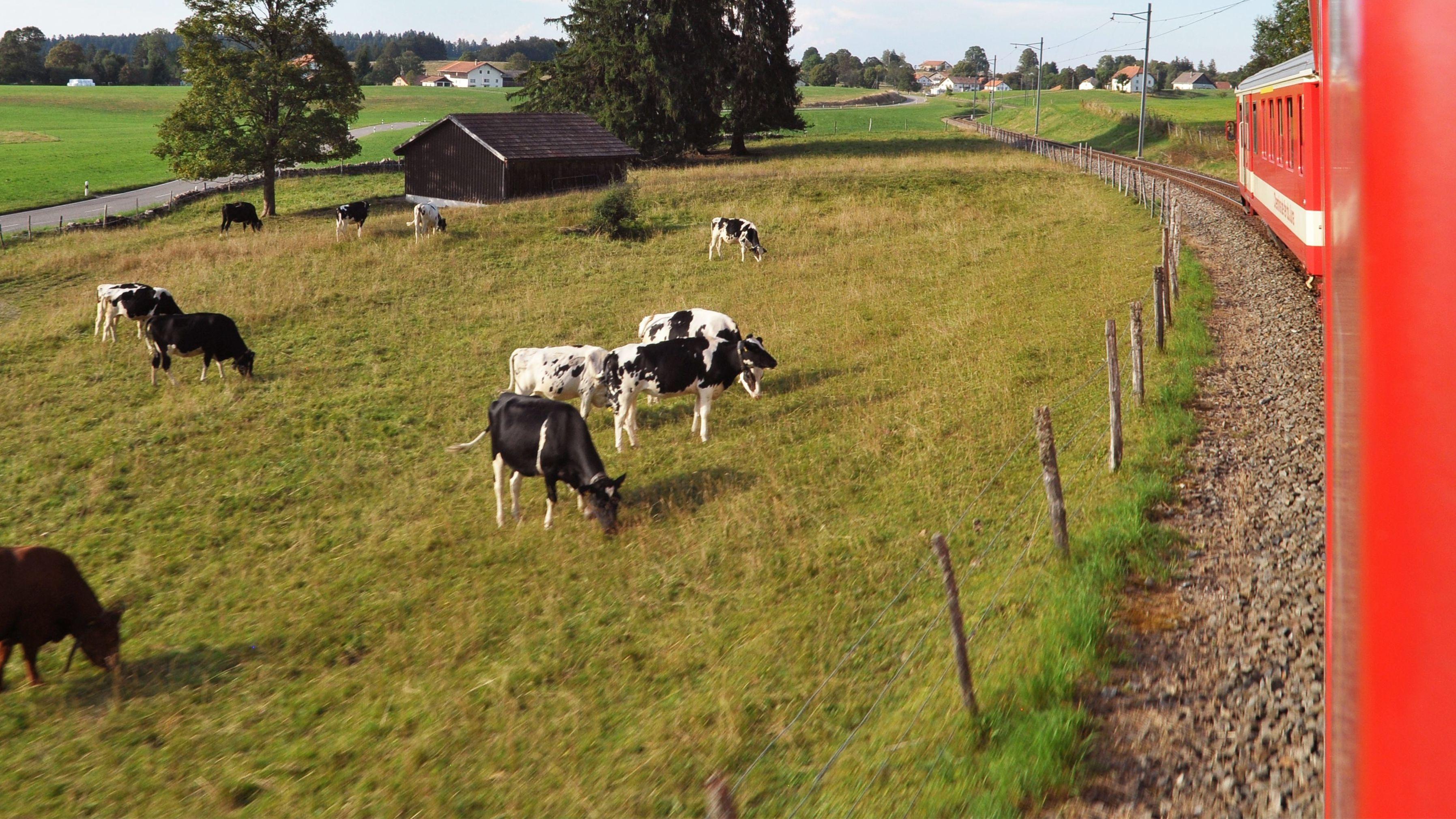 Kühe weiden neben einer Zugstrecke