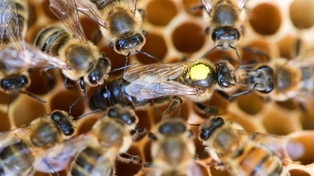 Eine Königin sitzt umringt von Honigbienen ihres Staates auf einer Wabe.