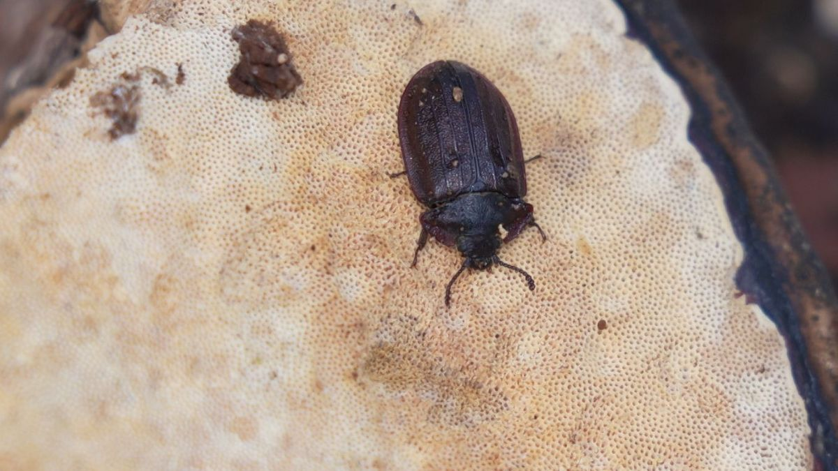 """Der Käfer """"Peltis Grossa"""", eine Urwald-Reliktart"""
