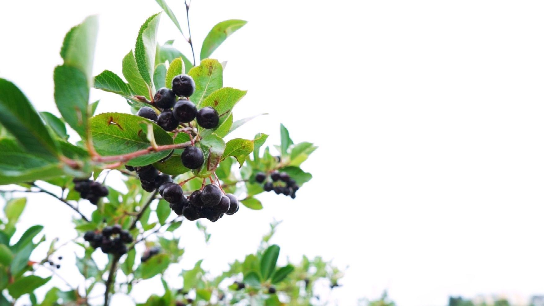 Aronia-Beeren auf der Plantage in Mitterteich
