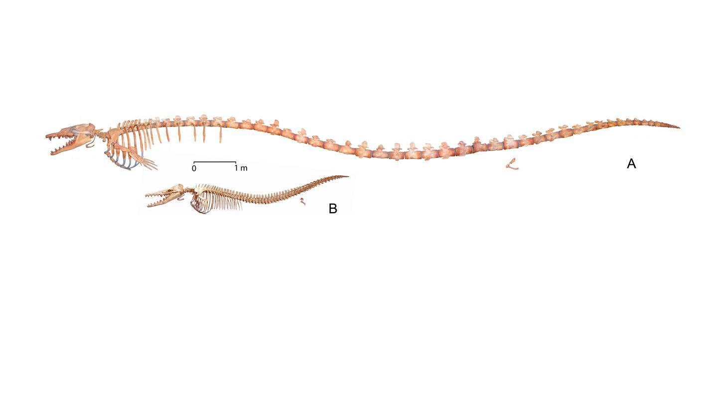 Basilosaurus isis (A) und Dorudon atrox (B)