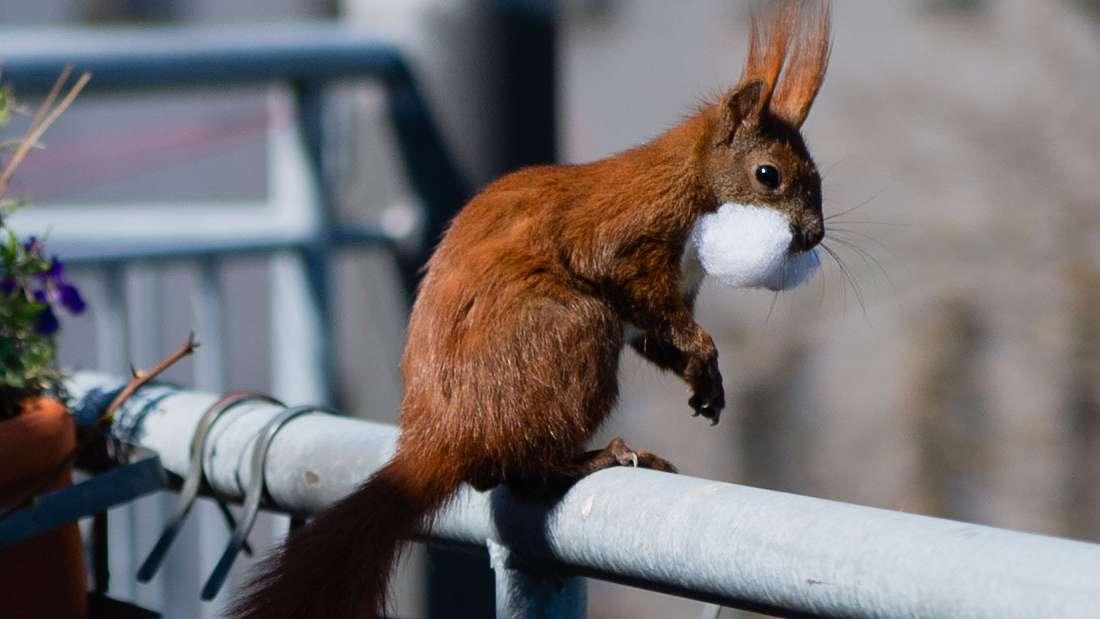 Eichhörnchen Fridolin auf Wildes Balkon mit Watte im Mund