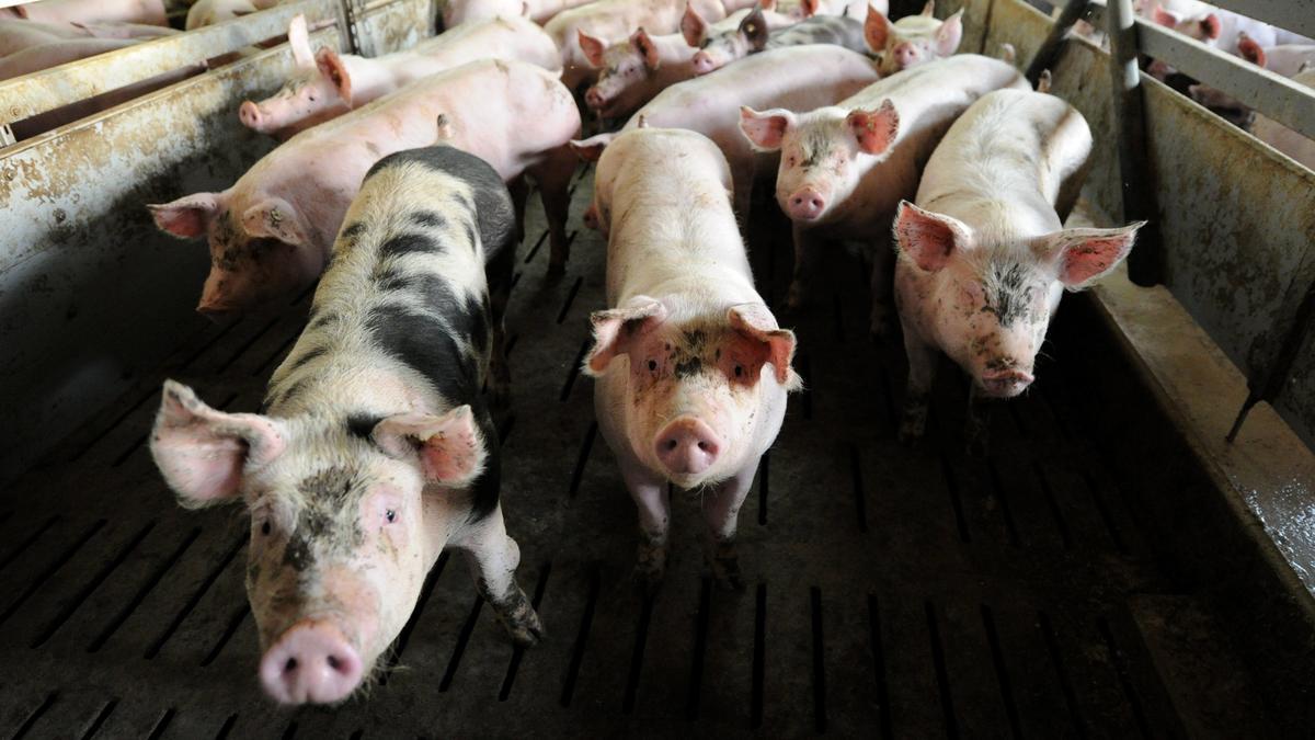 Schweine in einem Mastbetrieb, Ab 2021 sollen Tiere in der gesamten EU nur noch in Ausnahmefällen Antibiotika erhalten dürfen.