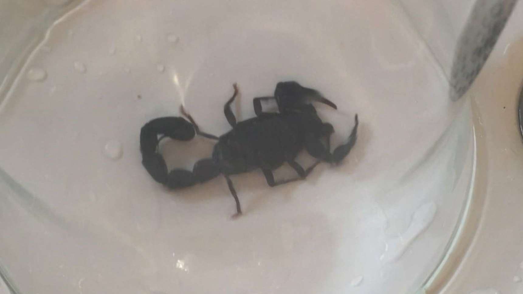 gefangener Skorpion