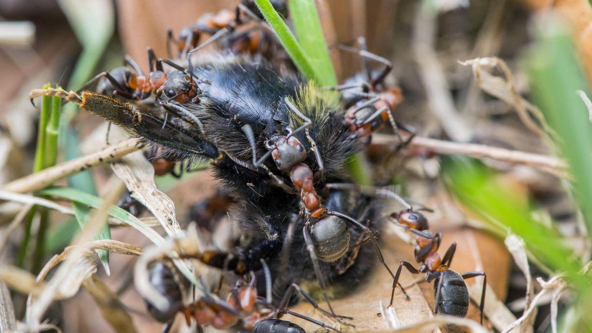 Ameisen entsorgen eine Hummel