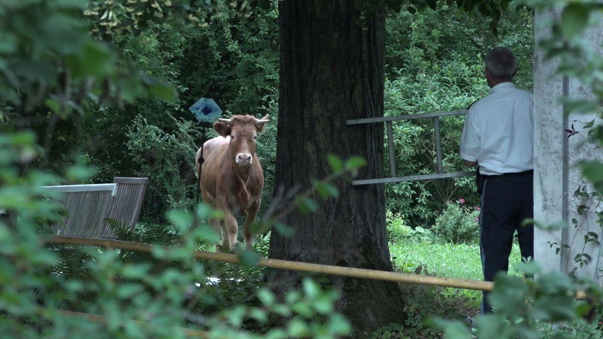 Eine der beiden Kühe steht einem Polizisten gegenüber