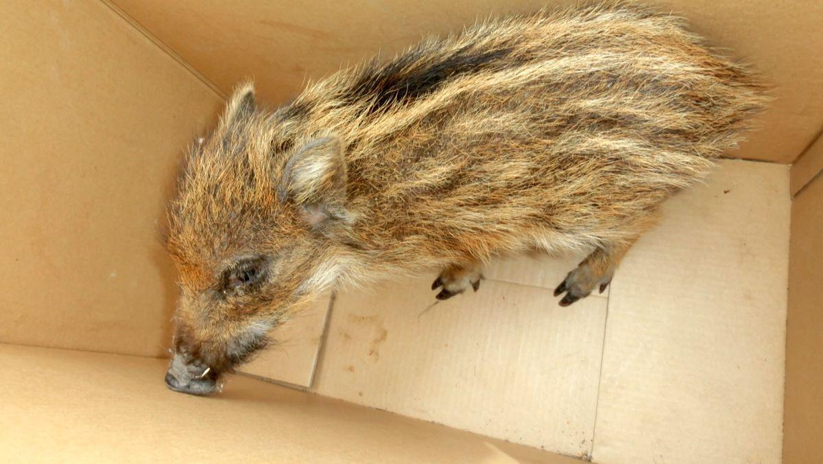 Ein Wildschwein-Frischling in einem Pappkarton