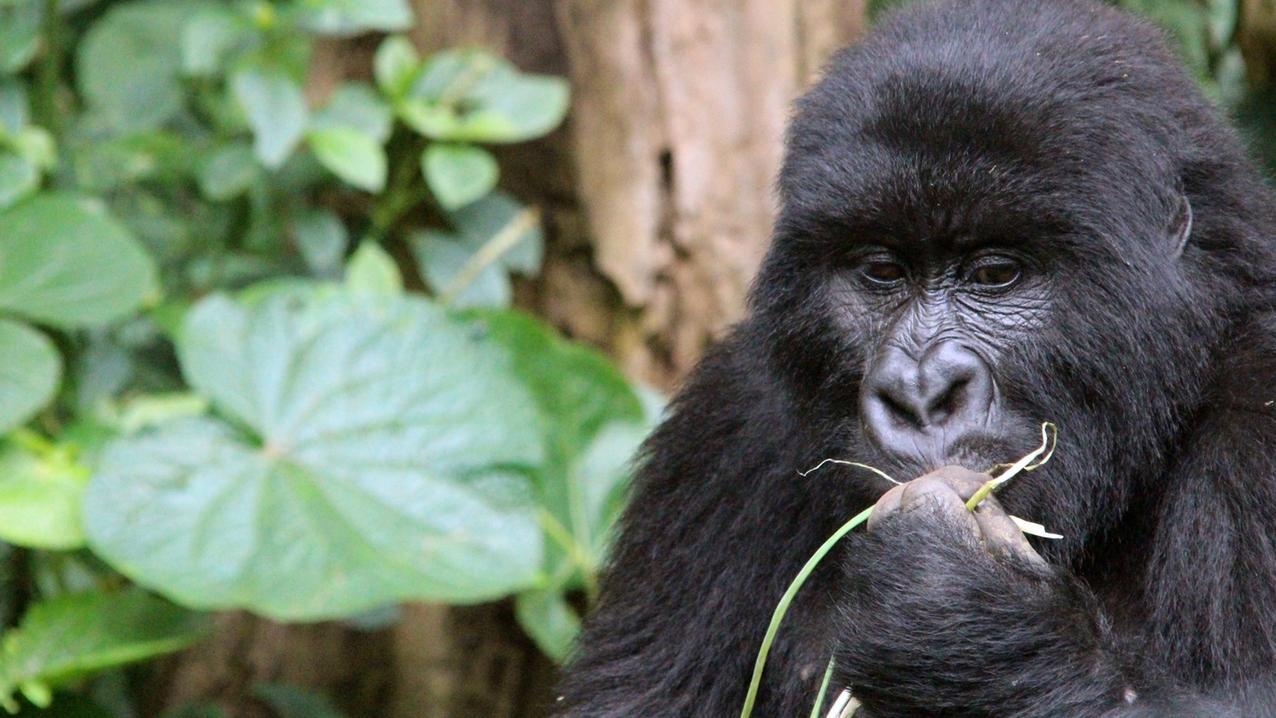 Berggorillas gehören zu den bedrohten Arten. Doch die neue Rote Liste signalisiert Hoffnung.