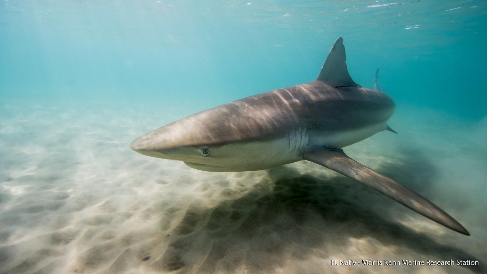 Israel: Ungewöhnlich viele Haie sammeln sich vor Kraftwerk