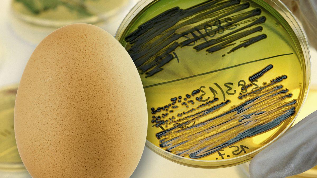 Ein Hühnerei und ein Nährboden im Labor mit dem Bakterium Salmonella Enteritidis.
