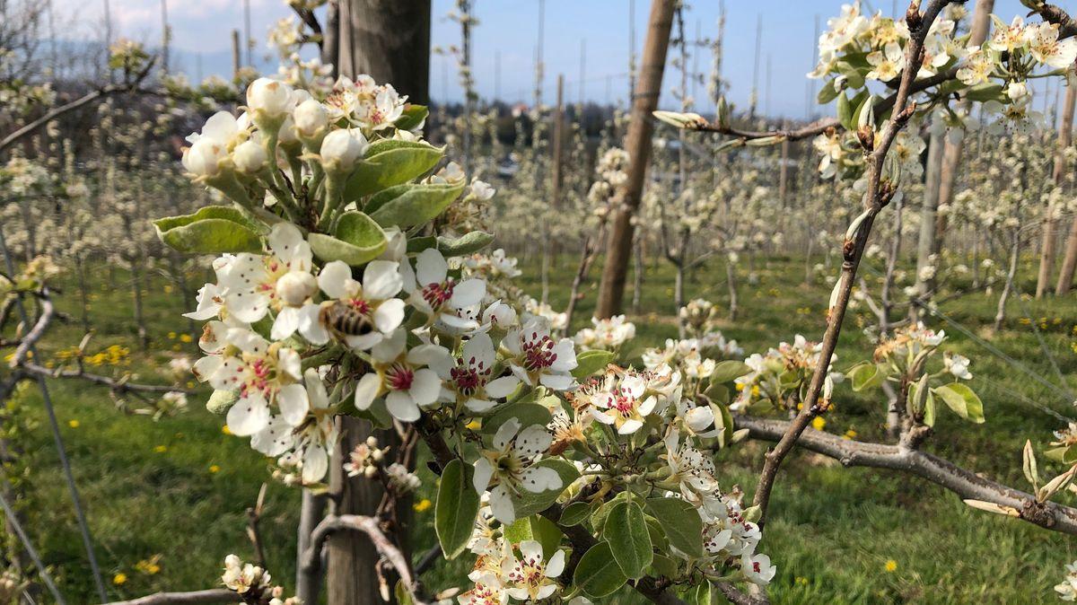 Obstbauern am Bodensee sind trotz Frostschäden zuversichtlich