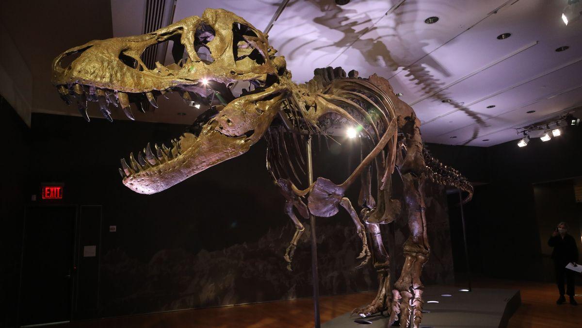 Das Bild zeigt ein fossiles Skelett eines Exemplars des Dinosauriers Tyrannosaurus Rex.