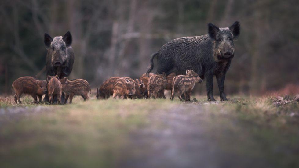 Wildschweine in der Dämmerung