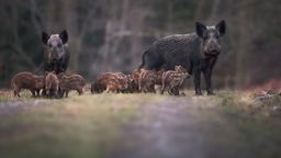 Wildschweine in der Dämmerung   Bild:stock-adobe